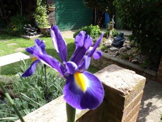 One Lone Iris blooms proud .