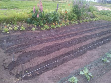 Leeks planted where you see the water line.. They are only as thin as blades of grass at the moment..