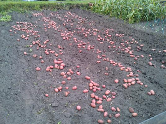 Potatoes ready for sorting and bagging to store in the shed