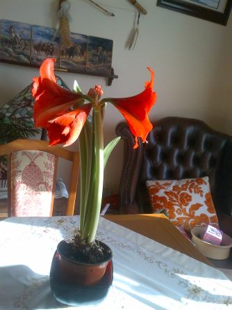 Amaryllis in Bloom today